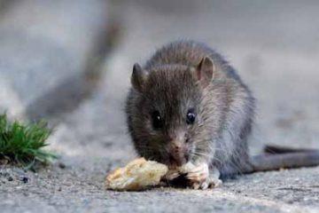 Ratón-Hantavirus