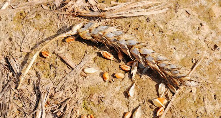 sequia-trigo